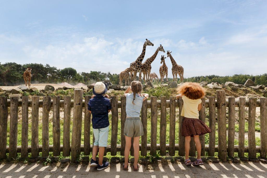 Giraffes at Beekse Bergen Safari