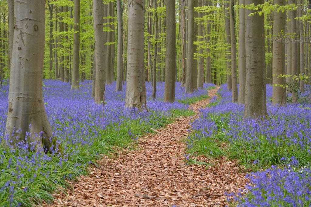 Bluebell forest just outisde of Brussels