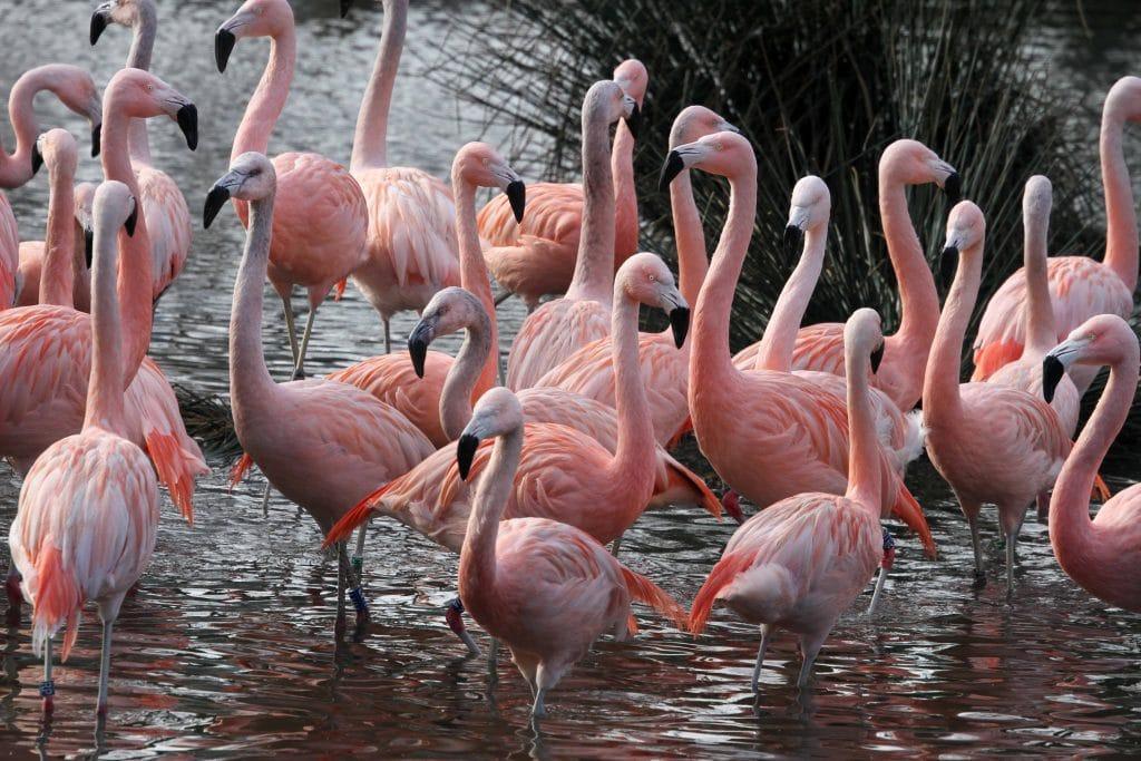 Flamingos at Artis zoo