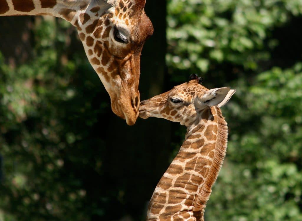 Giraffes at Artis zoo