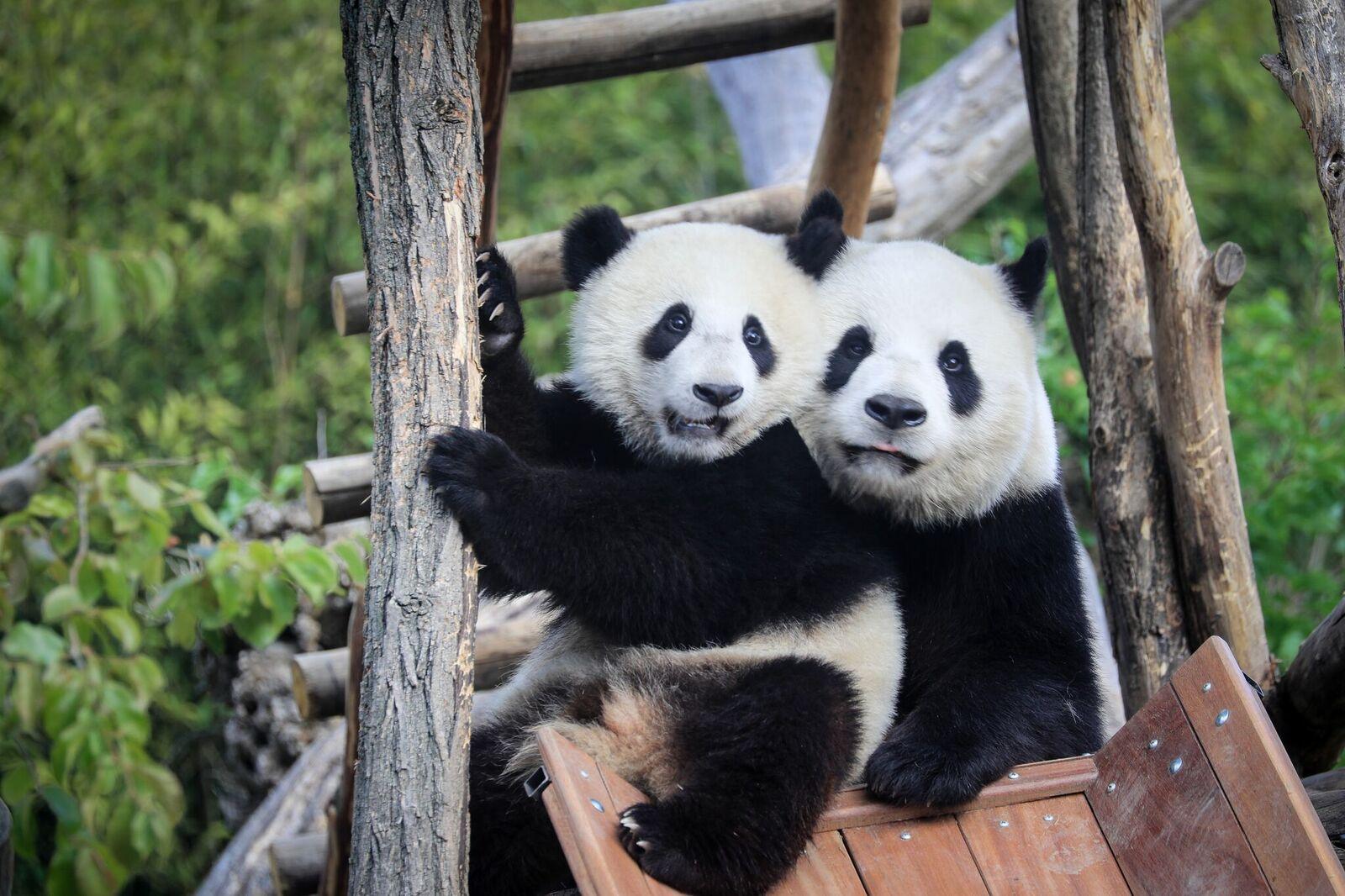 Pandas at Pairi Daiza Zoo Belgium